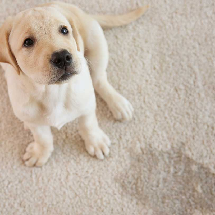 pet stain removal grand junction